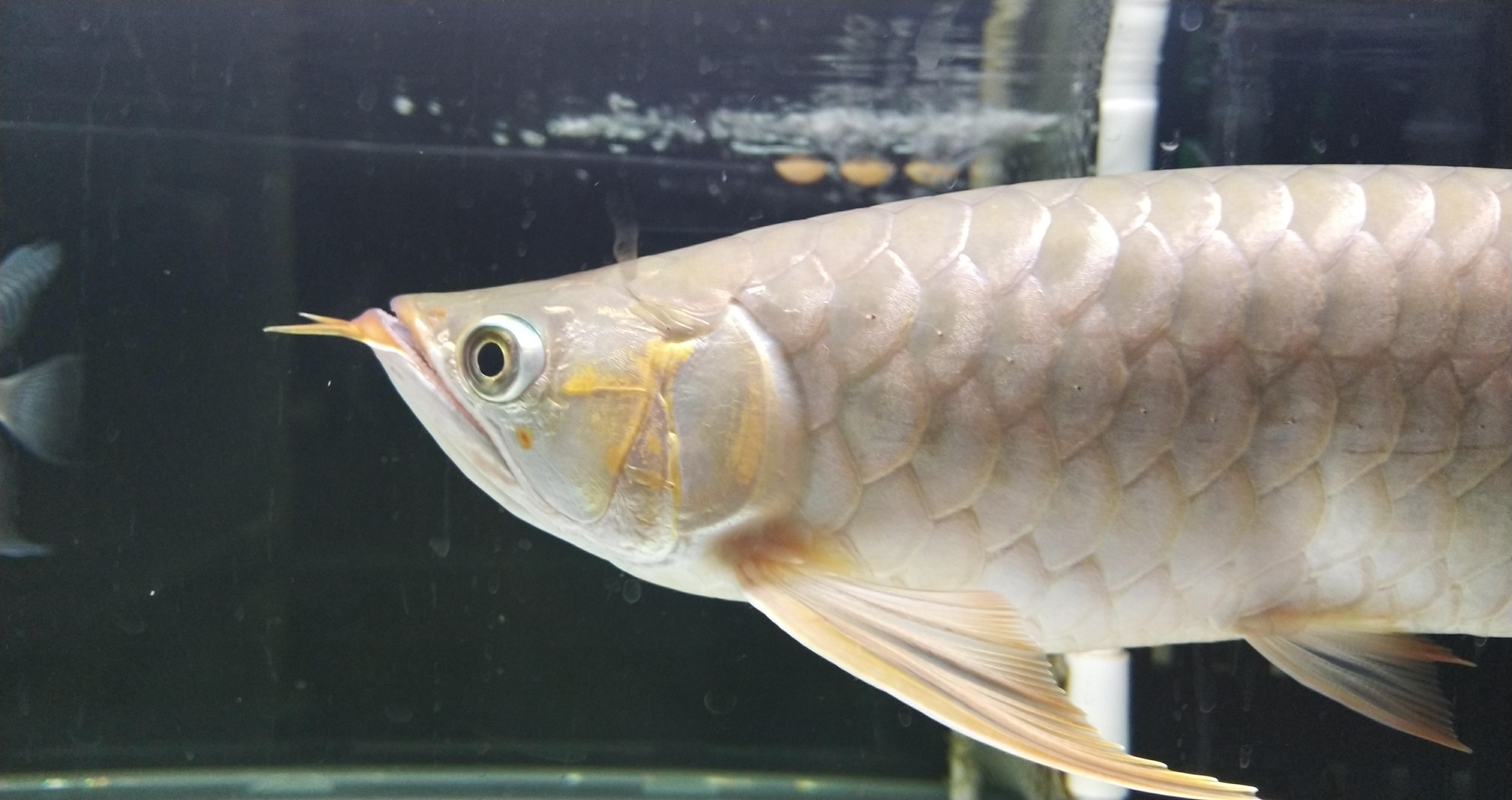 北京哪个水族店有白子黑帝王魟慢慢 北京观赏鱼 北京龙鱼第5张