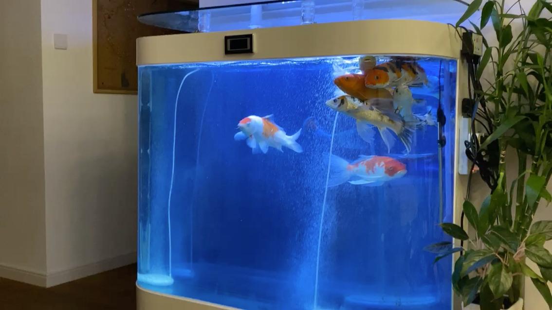 鱼为什么总喜欢在水面游 北京观赏鱼 北京龙鱼第1张