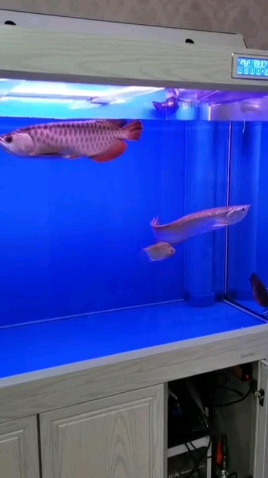 大神来救救我的鱼吧 北京观赏鱼 北京龙鱼第1张