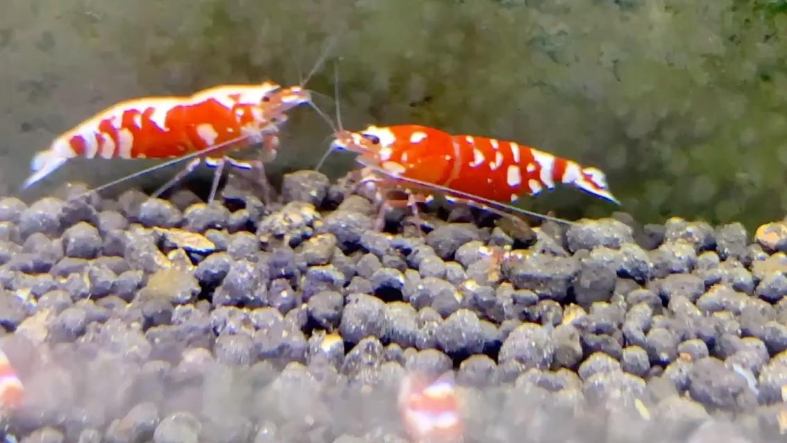 红花虎水晶虾 北京龙鱼论坛