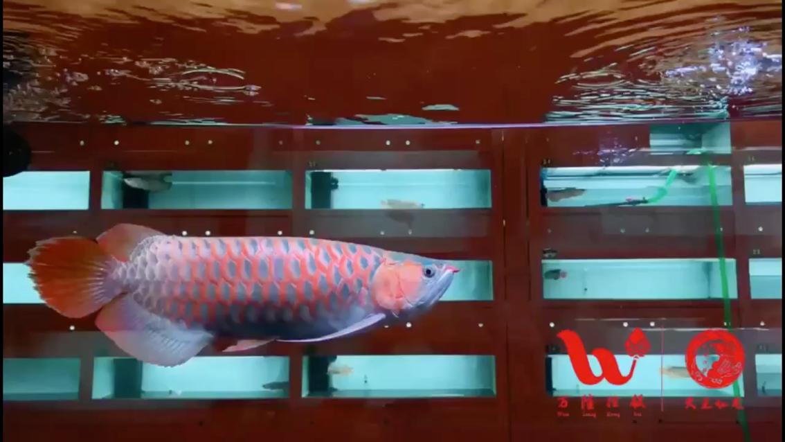 万隆天王神仙水 北京观赏鱼 北京龙鱼第1张