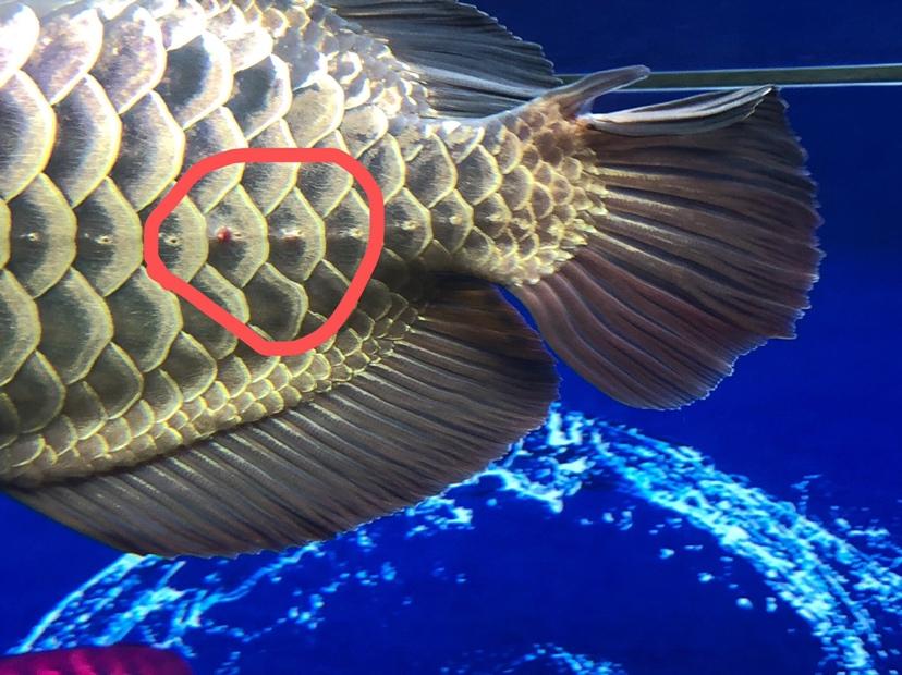 龙鱼病了这个怎么治疗 北京观赏鱼