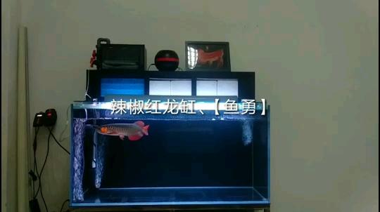 北京哪个水族店有粗线银板鱼一米二辣椒红龙缸2020喂食原生河鱼 北京龙鱼论坛