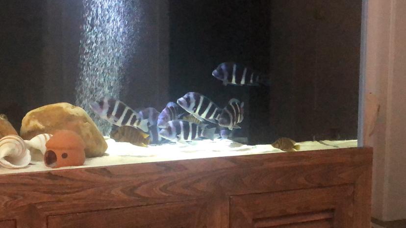 这条虎鱼是下管了吗 北京观赏鱼 北京龙鱼第1张