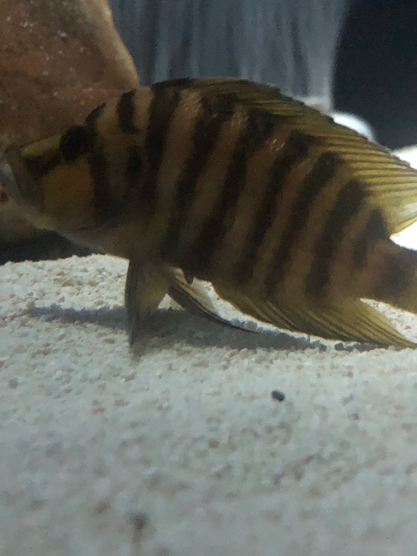 这条虎鱼是下管了吗 北京观赏鱼 北京龙鱼第2张