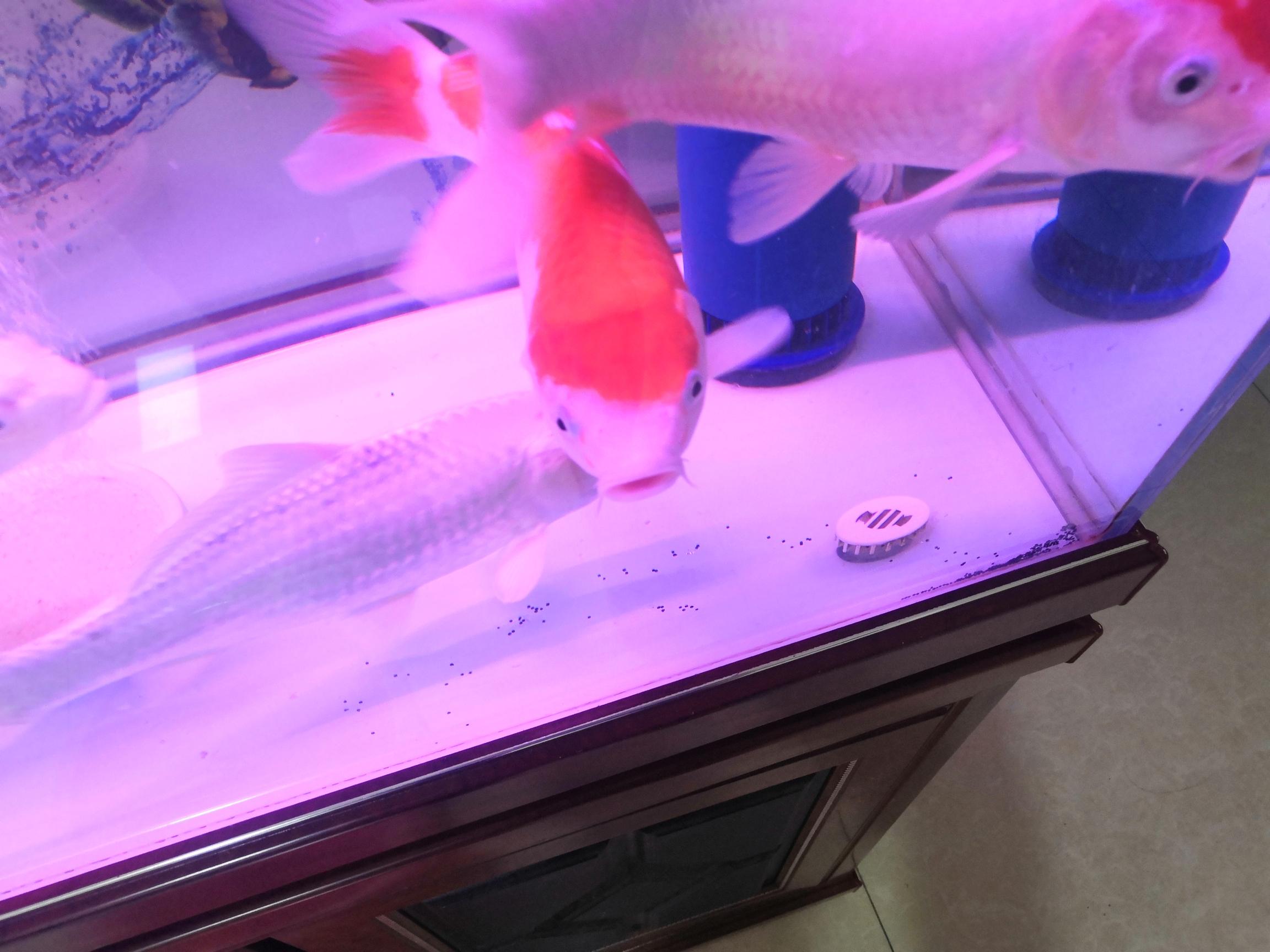 北京黑白皇冠魟鱼饲养等挺急的 北京观赏鱼 北京龙鱼第2张