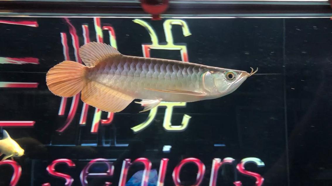 都说有的小红龙鰭尾越养越小 北京观赏鱼 北京龙鱼第1张