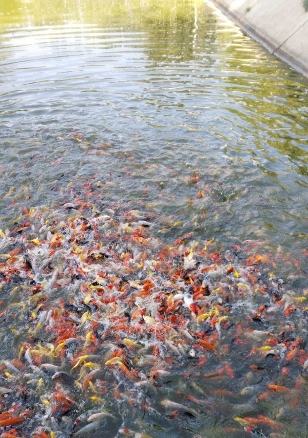 北京淡水观赏鱼的种类魟鱼为什么比龙鱼贵看这个 北京龙鱼论坛 北京龙鱼第2张