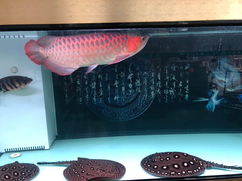 一年的变化 北京观赏鱼 北京龙鱼第2张