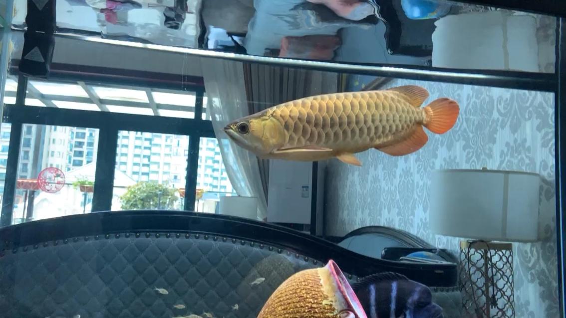 北京哪个水族店卖黑桃A鱼又想龙好又想萨伊好