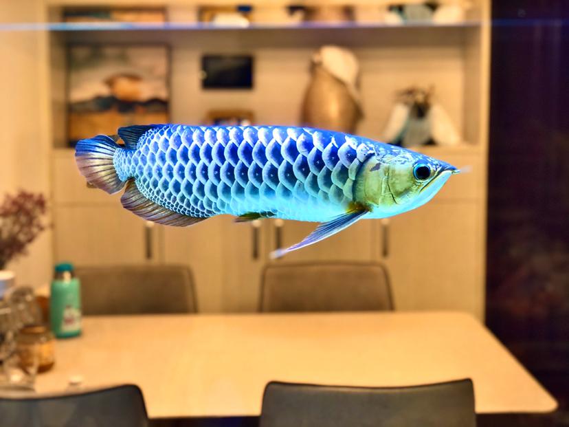 北京女王大帆相遇快一年啦 未来依然一起走下去 北京观赏鱼 北京龙鱼第2张