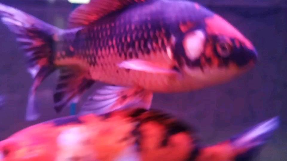 北京进观赏鱼去哪里这是什么品种鱼?