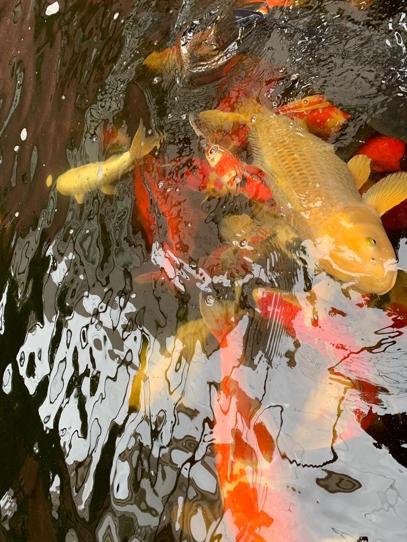 北京财神鹦鹉-红财神价格异议