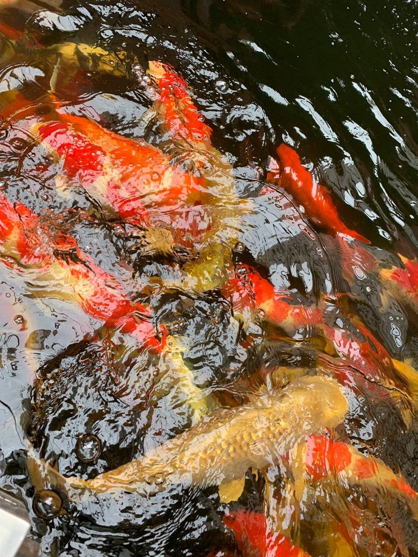 北京财神鹦鹉-红财神价格异议 北京龙鱼论坛 北京龙鱼第3张