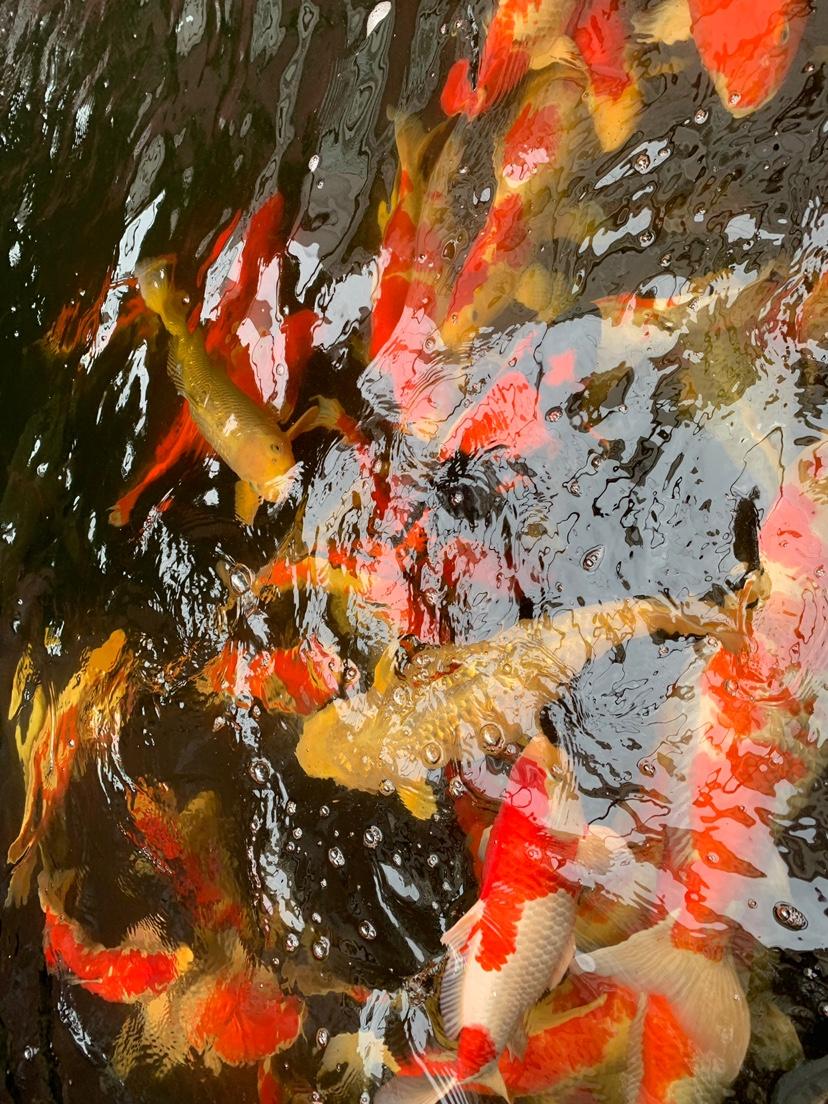 北京财神鹦鹉-红财神价格异议 北京龙鱼论坛 北京龙鱼第5张