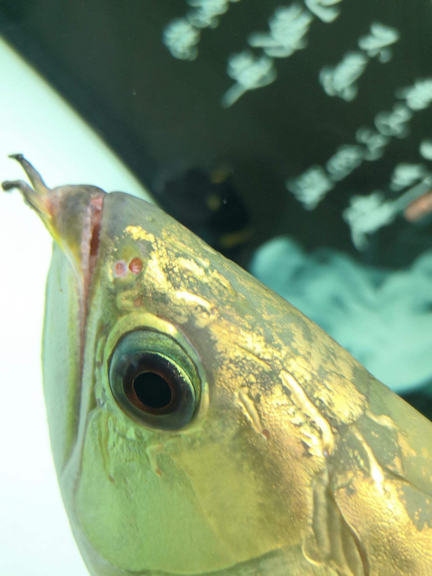 北京黑云(大吉大利)鱼哪个店的最好龙鱼蒙眼怎么治