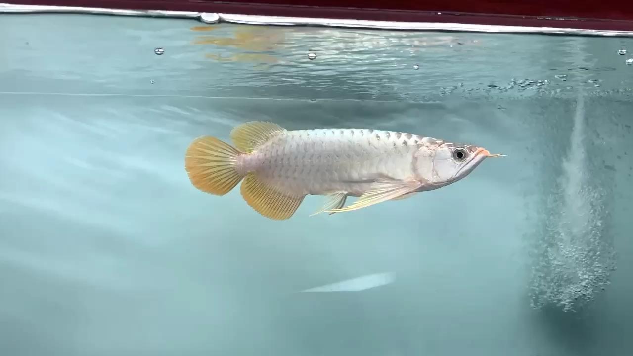 北京白子关刀鱼批发在售13号限量