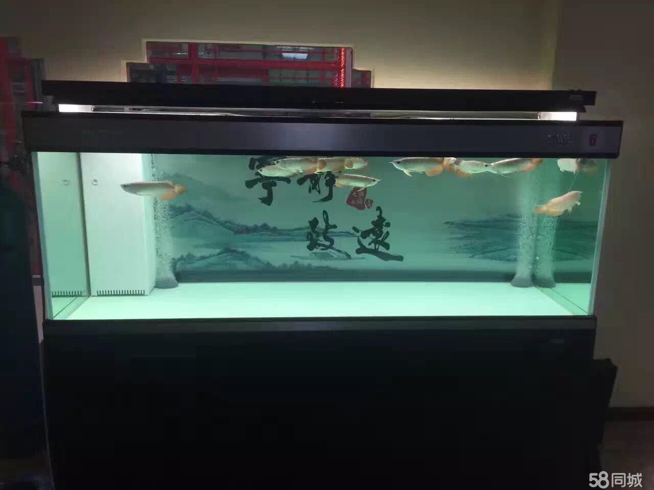 北京萨伊蓝黑桃们到家了 北京龙鱼论坛 北京龙鱼第2张
