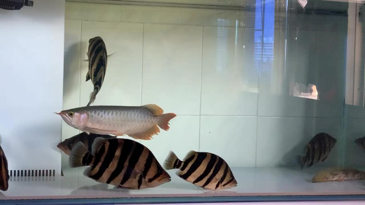 养鱼要早上看状态好的鱼能让你舒服一天 北京龙鱼论坛 北京龙鱼第1张