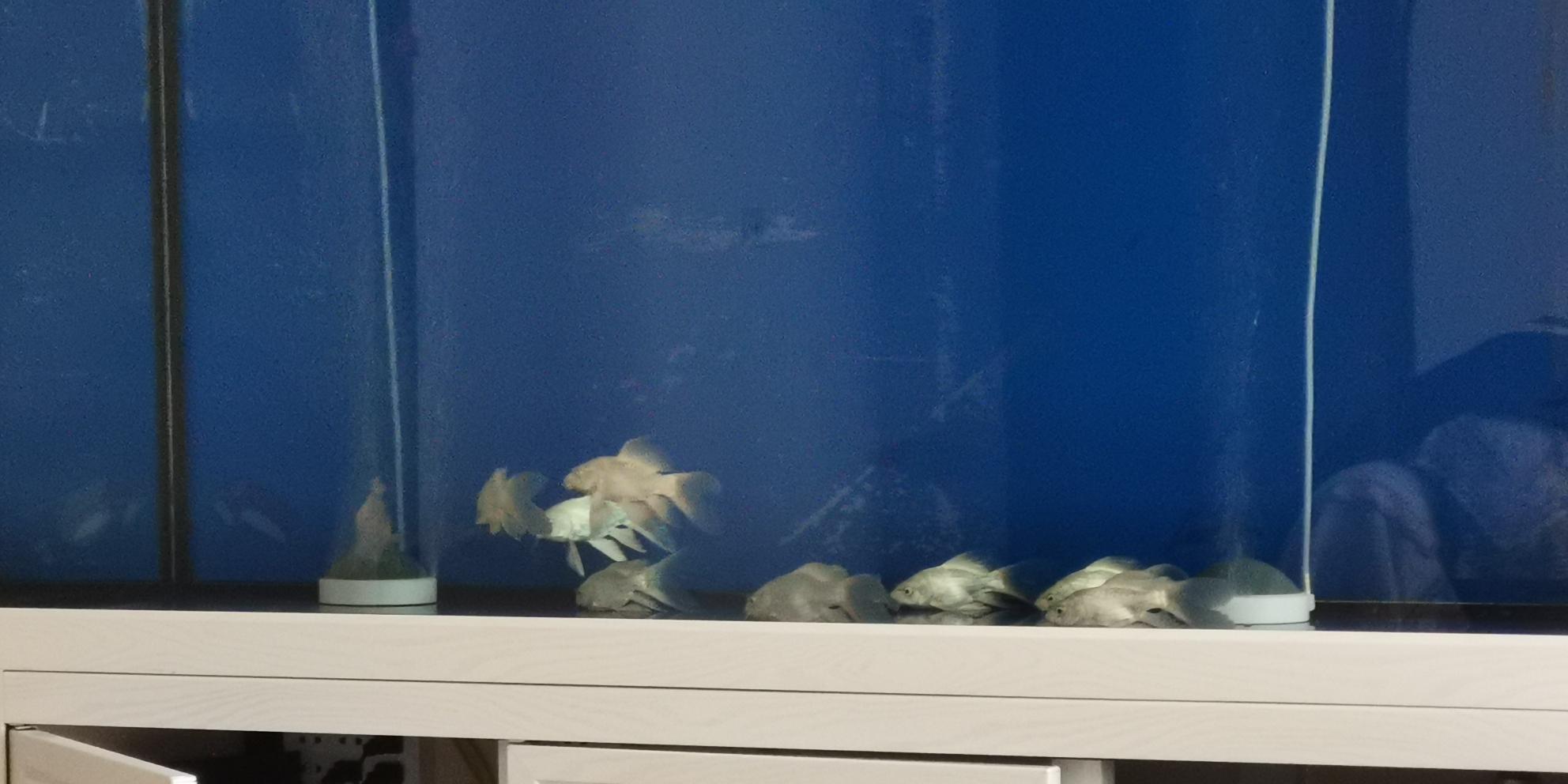 北京白子魟鱼公 皇冠母新入缸的集体爬缸怎么办? 北京观赏鱼 北京龙鱼第1张