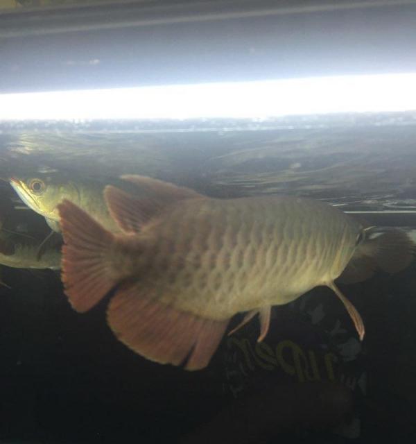 这条鱼有潜力吗? 北京龙鱼论坛 北京龙鱼第2张