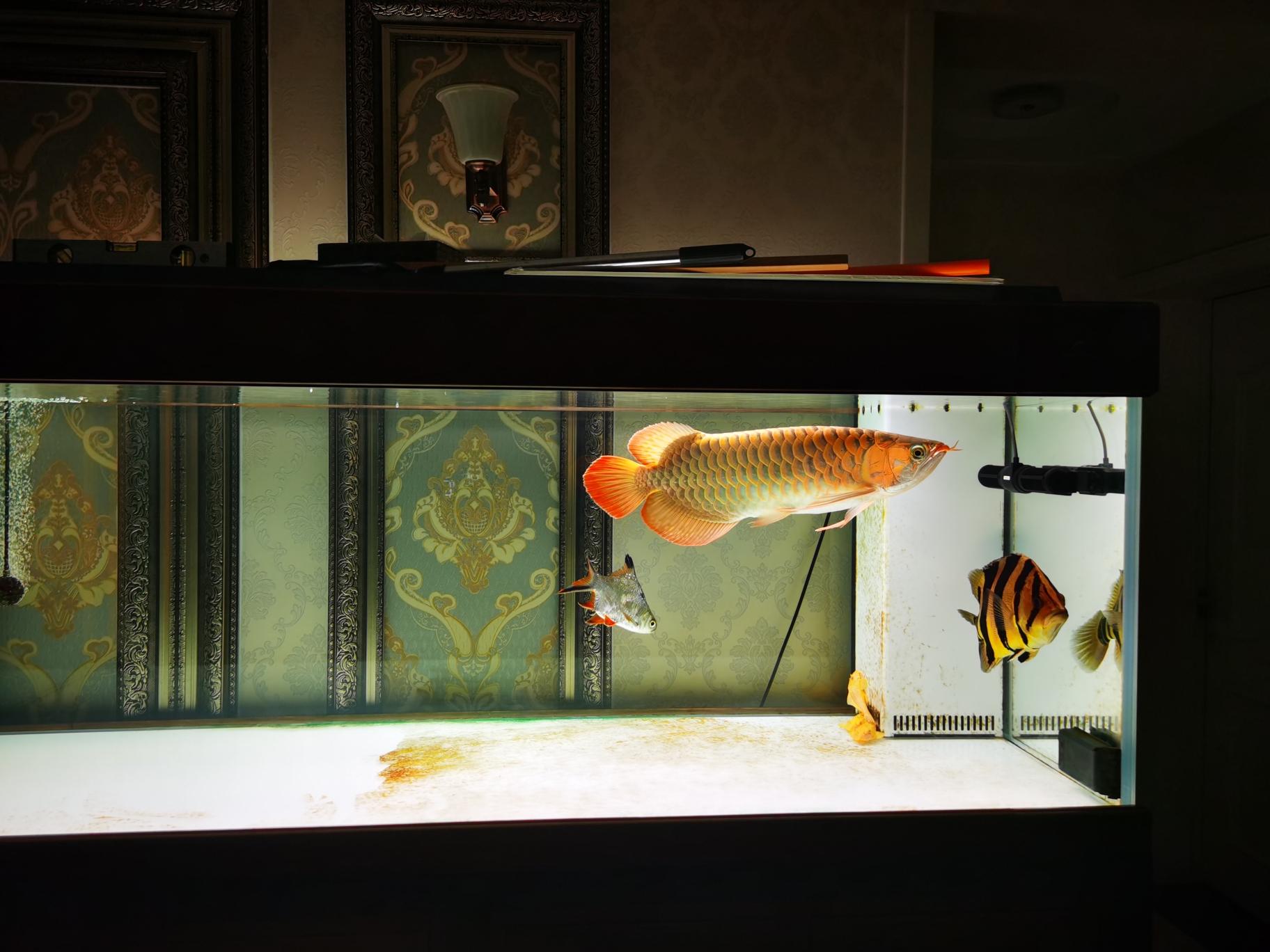 北京超级大鱼场没事别动滤材 北京龙鱼论坛 北京龙鱼第2张