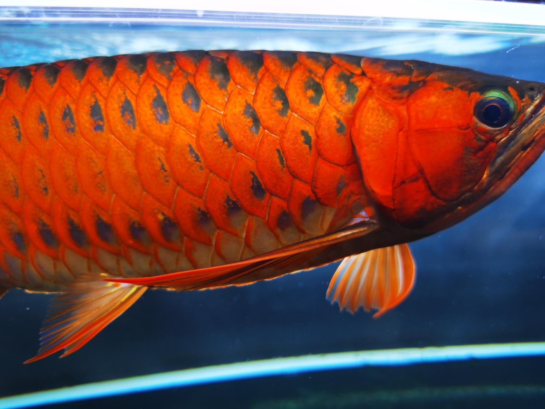 不喜勿喷 北京观赏鱼 北京龙鱼第2张