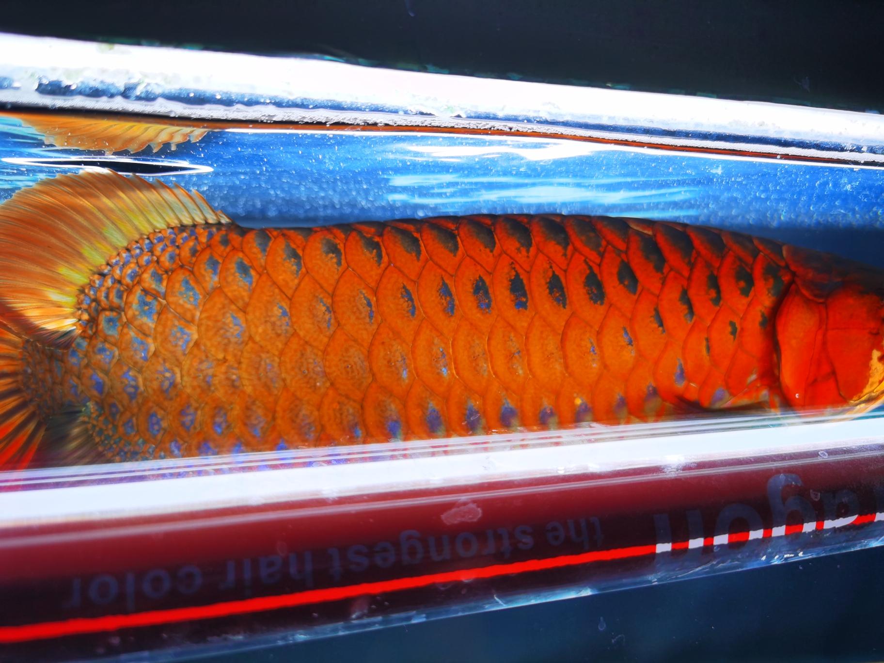 不喜勿喷 北京观赏鱼 北京龙鱼第4张