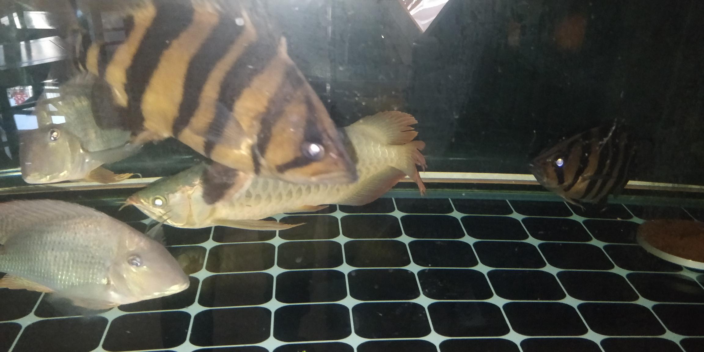 龙鱼爬缸拒食什么原因 北京观赏鱼 北京龙鱼第3张