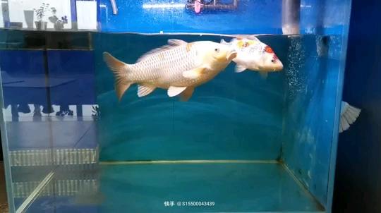 鱼乐 北京观赏鱼 北京龙鱼第1张