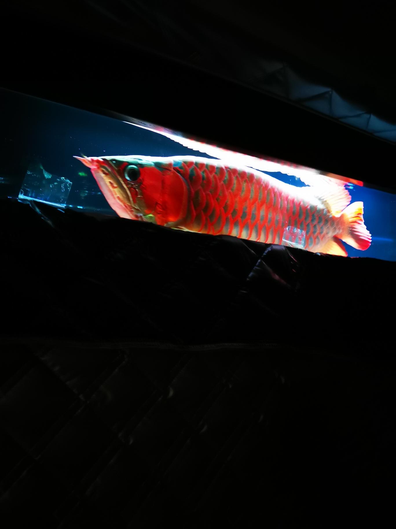 北京纯血皇冠黑白魟鱼鉴别25X105米搞莫怕
