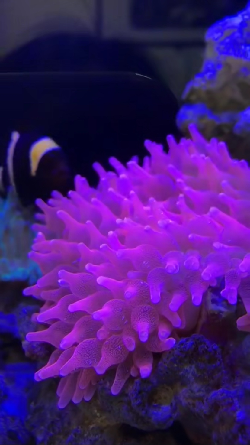 草皮珊瑚为什么不开了