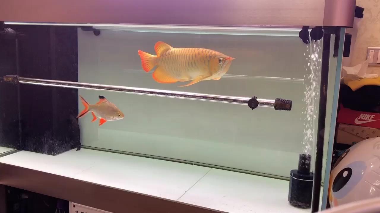 北京祥龙水族分店红龙需要时间的积累