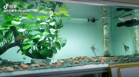 龙鱼的游姿决定它属于哪种生活态度