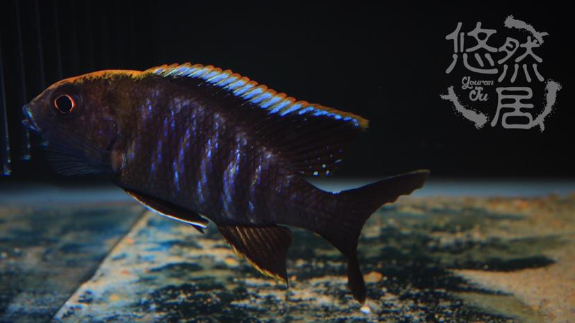 北京花鸟鱼虫市场地址分享科普 北京观赏鱼 北京龙鱼第5张
