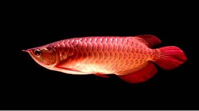 鱼友们我又来了 北京龙鱼论坛 北京龙鱼第2张