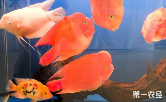 养鱼没有尽头只有往前冲 北京观赏鱼 北京龙鱼第2张