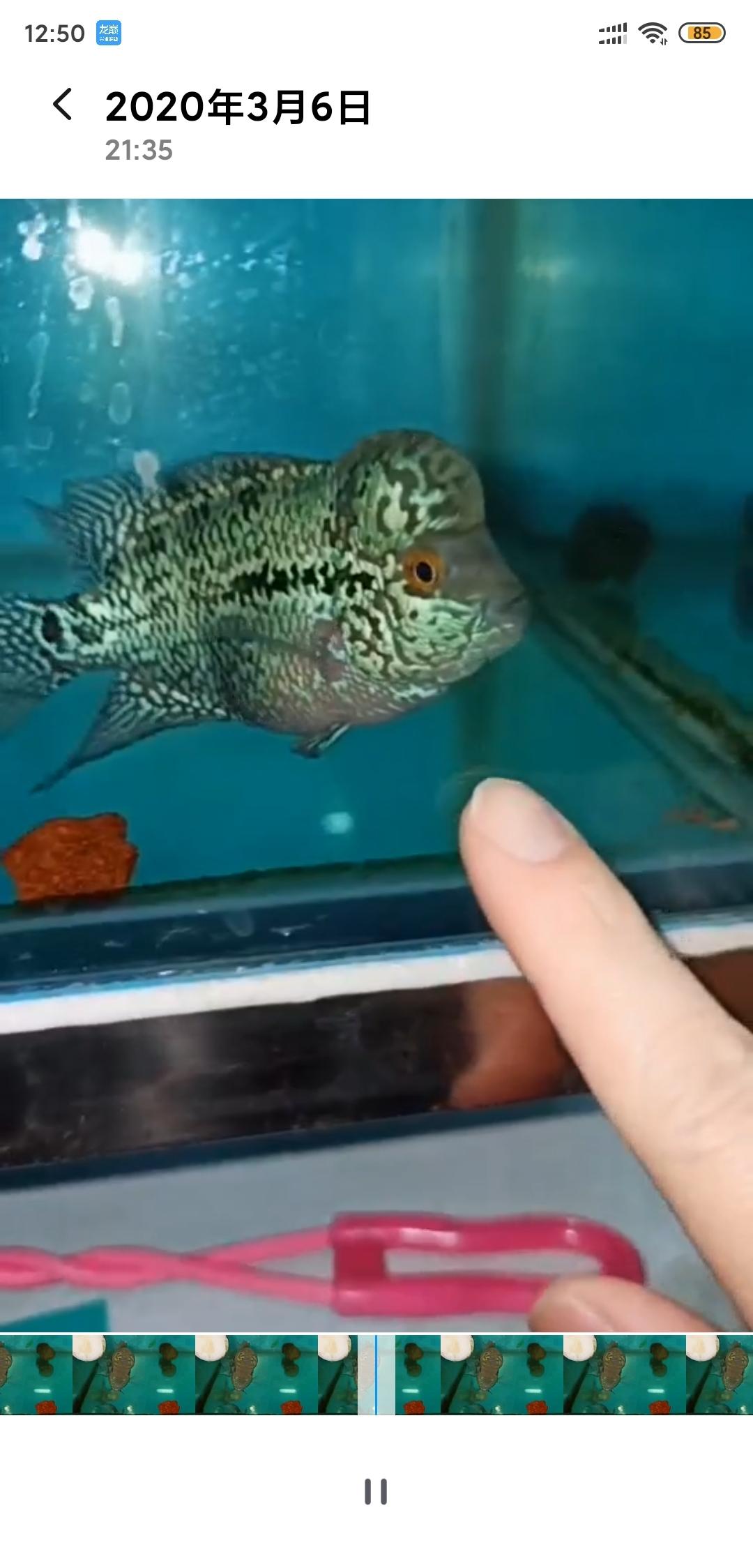 北京皇冠黑白魟鱼繁殖新手求助