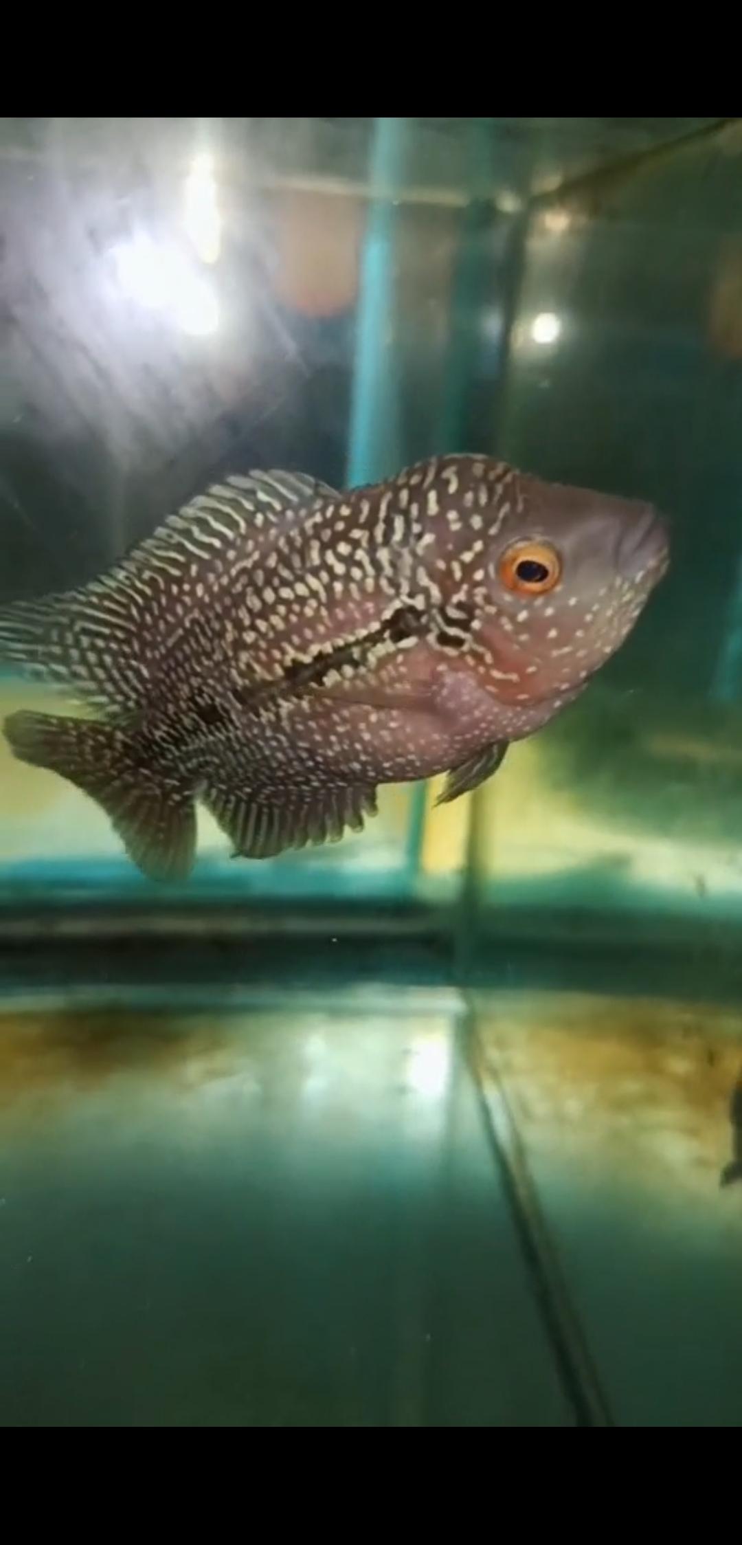 北京皇冠黑白魟鱼繁殖新手求助 北京观赏鱼 北京龙鱼第2张