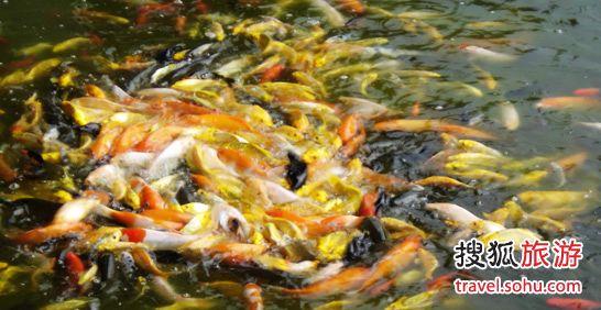 北京直纹飞凤鱼哪个店的最鱼儿晚安啦 北京观赏鱼 北京龙鱼第2张