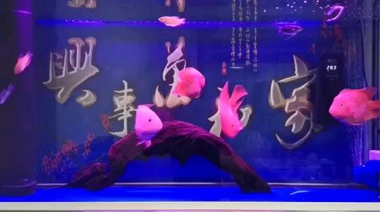 北京直纹飞凤鱼哪个店的最鱼儿晚安啦 北京观赏鱼 北京龙鱼第1张