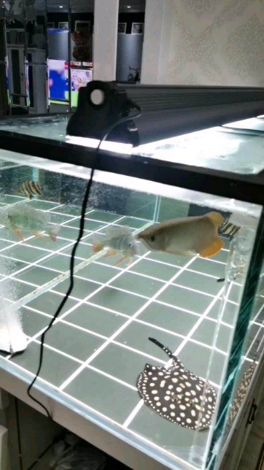 换灯了 北京观赏鱼 北京龙鱼第1张