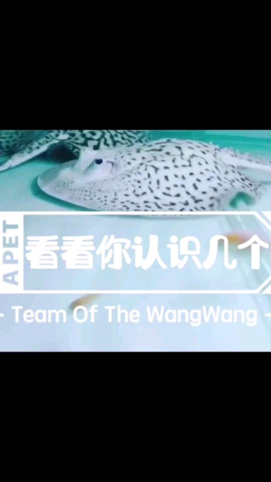 北京哪个水族店卖直纹飞凤鱼魟鱼大赏
