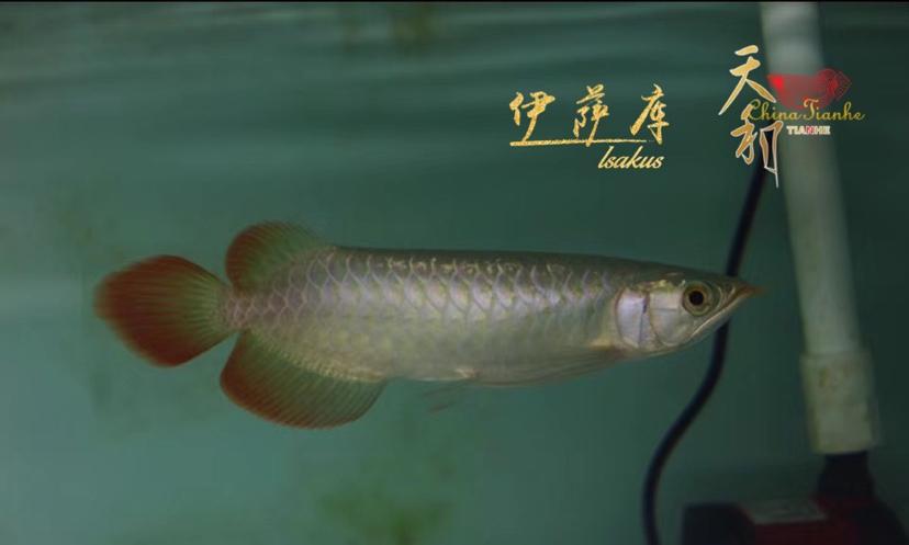 北京龙鱼配鱼差之毫厘 缪以千里 北京观赏鱼 北京龙鱼第10张