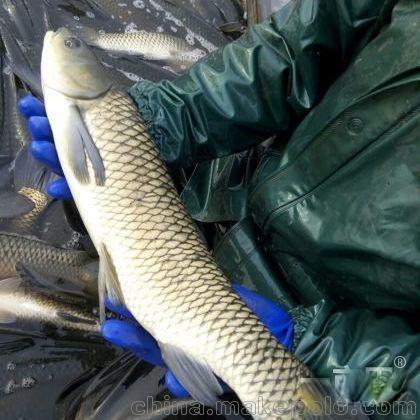 北京非洲虎鱼鱼友请留意下 北京观赏鱼 北京龙鱼第2张