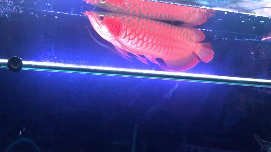 北京哪个水族店卖直纹飞凤鱼7龙这混养应该没几多个人 北京观赏鱼 北京龙鱼第1张