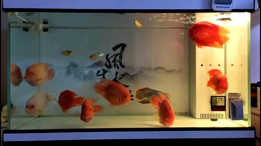 北京哪个水族店卖狗仔鲸(红尾猫)来点意境美