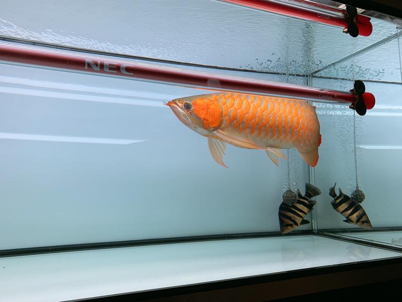 2年多的鱼腮帮子怎么沒什么动静? 北京观赏鱼 北京龙鱼第1张