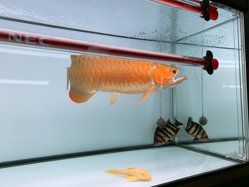 2年多的鱼腮帮子怎么沒什么动静? 北京观赏鱼 北京龙鱼第2张