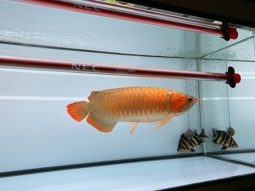 2年多的鱼腮帮子怎么沒什么动静? 北京观赏鱼 北京龙鱼第3张
